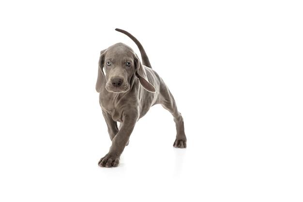 Серый маленький щенок веймаранера играет на белой студии