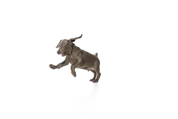 白いスタジオで遊んでいる灰色の小さなワイマラナーの子犬