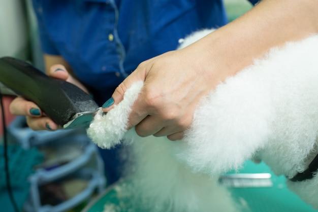 강아지의 발을 자르는 미용사. 비숑 프리제. 그루머가 일하고 있습니다. 헤어스타일, 스타일링