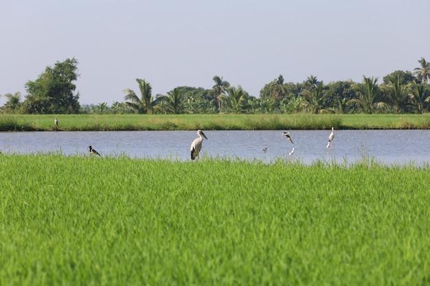 Группа птиц на зеленом рисовом поле и канал в сельской местности в таиланде