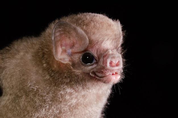 털이 다리 뱀파이어 박쥐