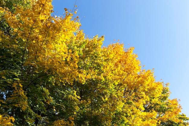森に生えている木の青い空を背景に、初秋または中秋にカエデの半分黄ばんだ葉