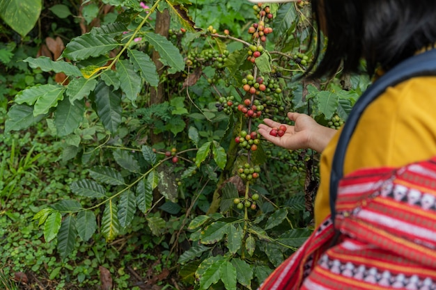 커피 나무에 신선한 커피를 들고 손 여자