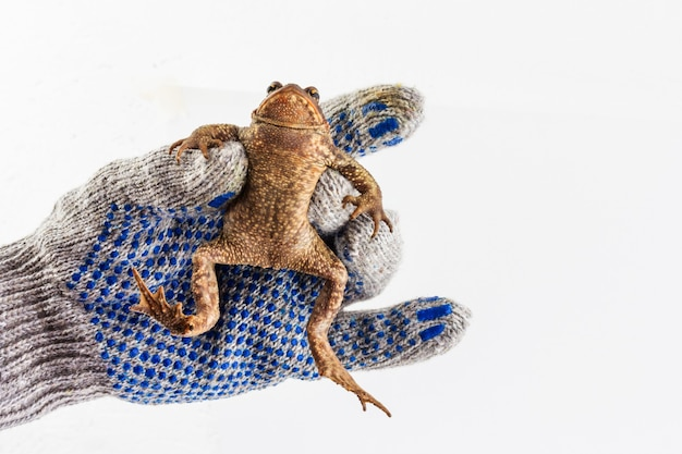 Рука человека в серой перчатке держит большую кавказскую земляную жабу на белом фоне