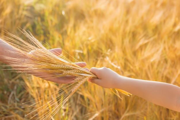 子供と父の麦畑での手。