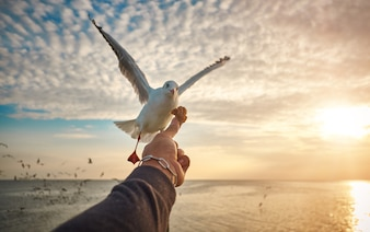The hand of the person who filed the food to the seagulls flying hover come around to eat