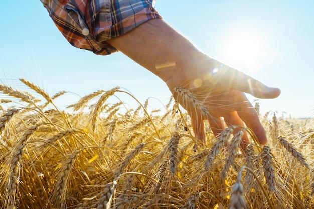 Рука касается колосьев ячменя. фермер в пшеничном поле. концепция богатого урожая.