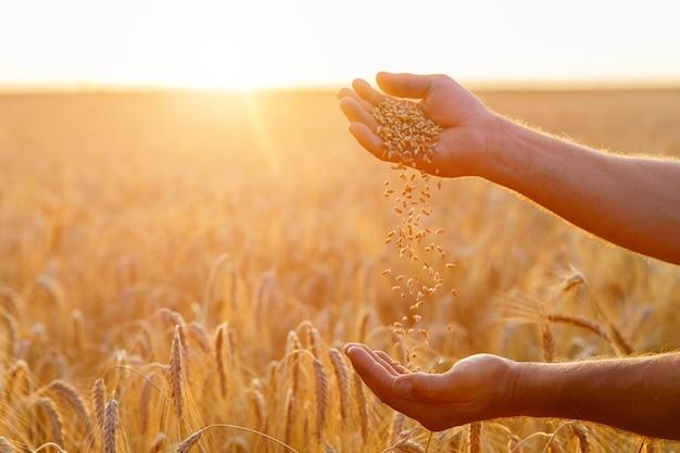 한 농부의 손이 밀밭에 한 줌의 밀알을 붓습니다.