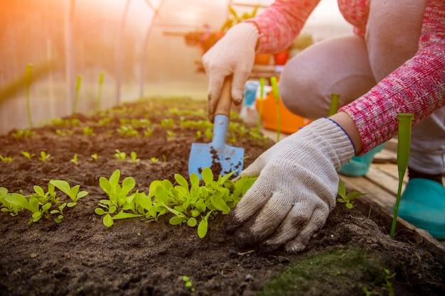 家庭用手袋の庭師の手は、温室の地面に若い植物の芽の苗を植えます。春の時間