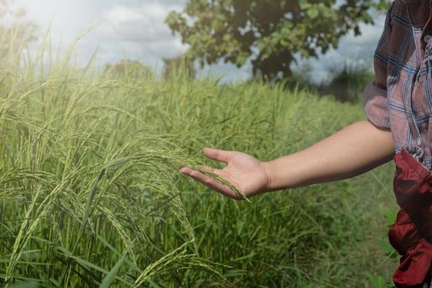 팁을 애무하는 손, 쌀은 녹색 농장에서 시작됩니다.