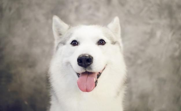 개 시베리안 허스키 회색과 흰색 색상의 행복 총구.