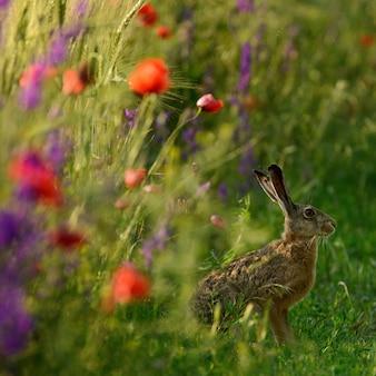 野ウサギはポピーlepus europaeusとフィールドの端に座っています。