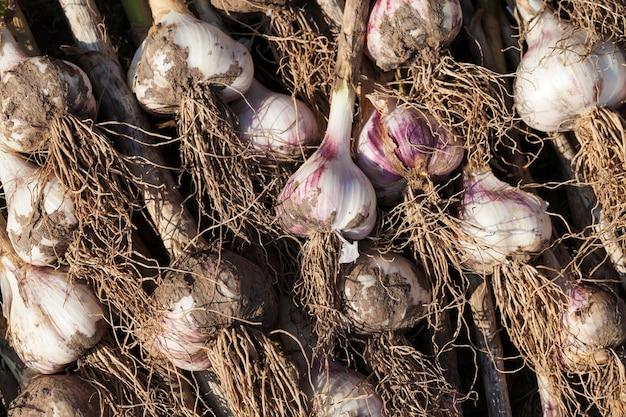 농업에서 수확한 마늘 작물, 식물의 땅을 말리기 위해 들판에 쌓인 마늘 작물