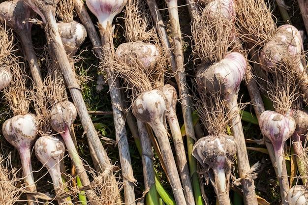 農業で収穫されたニンニク作物