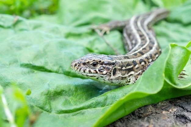 암컷 도마뱀의 머리, 암컷 도마뱀 머리의 거시적 사진, lacerta agilis