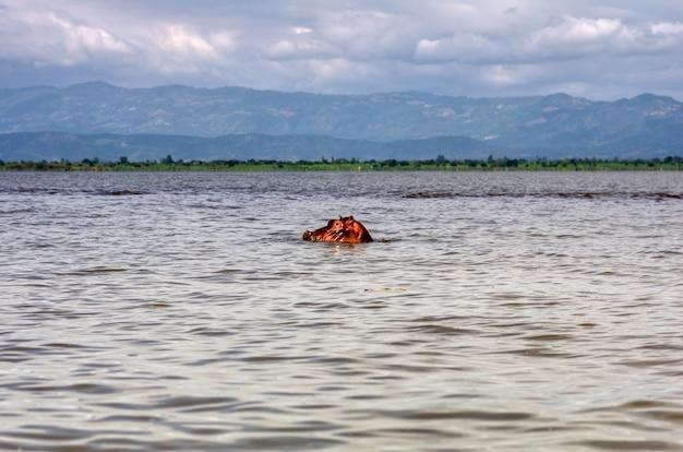 エチオピアのタナ湖の水の上にカバの頭が浮かんでいます。背景には山があります。旅行と冒険のコンセプト