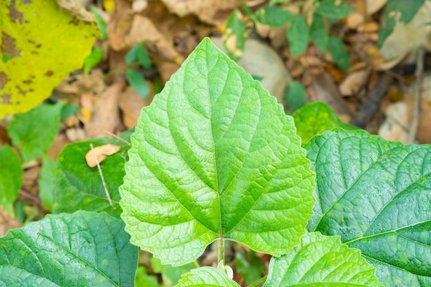 Зеленые листья в форме сердца встречаются в природе. листья в форме сердца с зелеными зубчатыми краями.