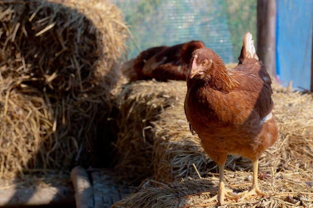 鶏小屋の雌鶏は散歩に出かけ、驚いて見守っていました。