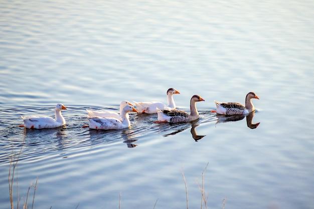 ガチョウの群れが川の青い水に沿って浮かんでいる