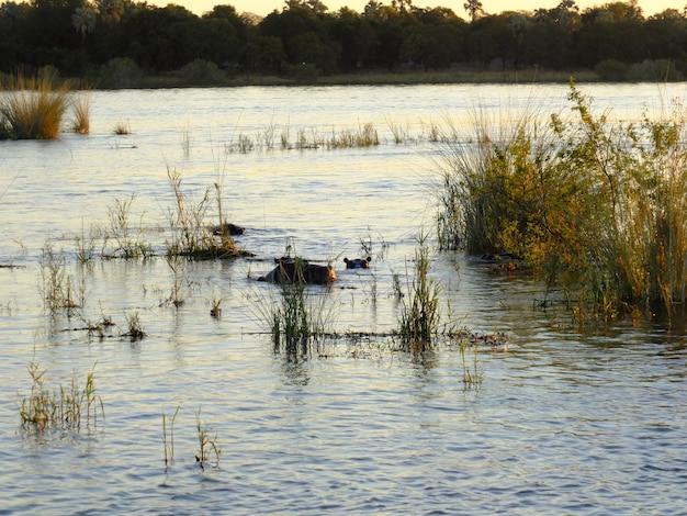 ジンバブエのザンベジ川のクルーズでのカバ