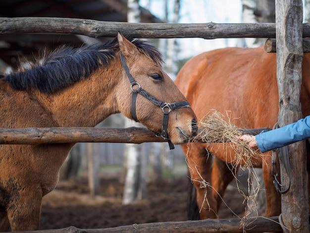 干し草で手を伸ばす馬