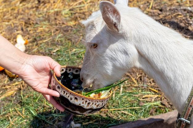 ホステスは皿から山羊に餌をやる。動物の世話
