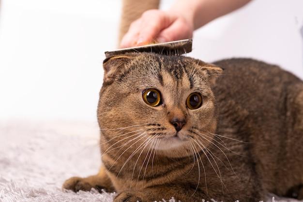Хозяйка расчесывает шерсть шотландской вислоухой коричневой кошке. стрижка кошек, ветеринария.
