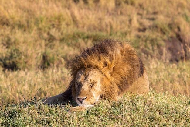 Спит огромный лев масаи мара кения