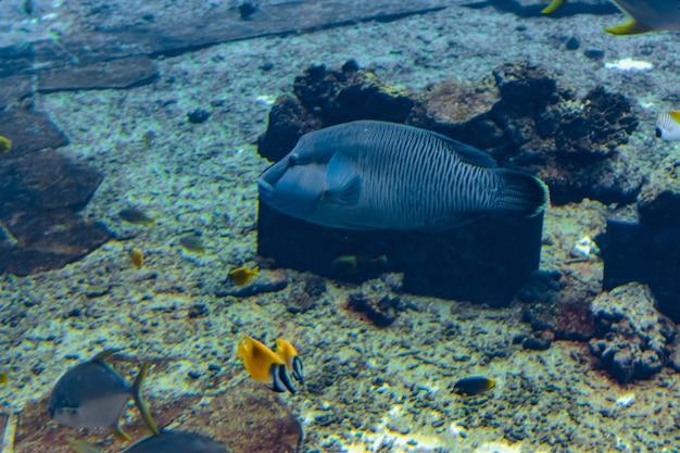 Губан-горбатый в аквариуме (cheilinus undulatus, maori, napoleon wrasse) - крупный вид губана, который в основном встречается на коралловых рифах в индо-тихоокеанском регионе. атлантида, санья, хайнань, китай.