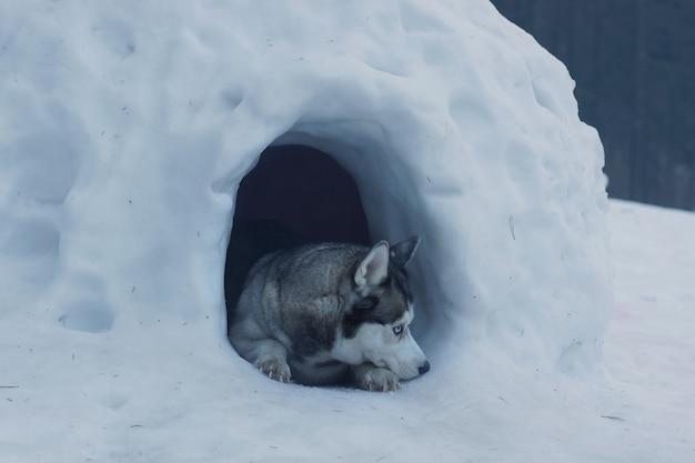 허스키 품종 개는 에스키모의 이글루라고 불리는 눈 동굴 입구에 있습니다.
