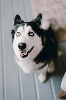 허스키 개가 보인다. 개의 불쌍한 표정. 아름다운 허스키 개. 개가 집에 있어요.