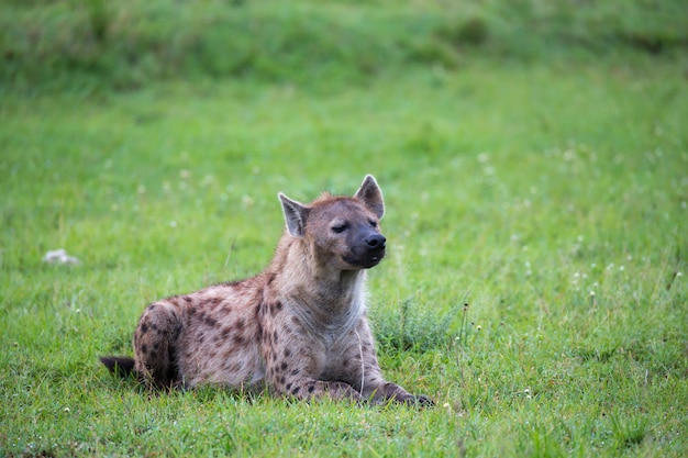 Гиена лежит в траве в саванне в кении