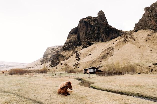 アイスランドの馬はアイスランドで育った馬の品種で、茶色の馬が草の上に横たわっています。