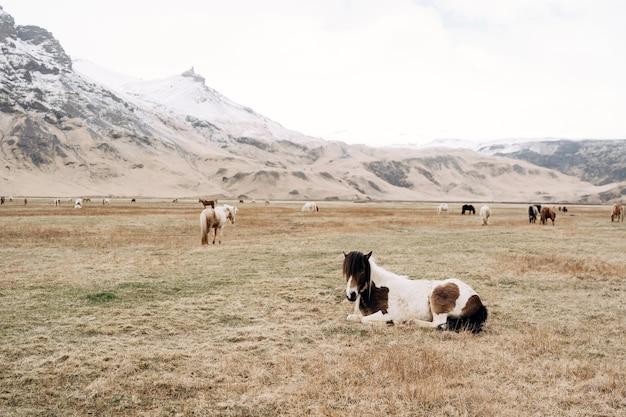アイスランドの馬は、アイスランドで育てられた馬の一種で、草の上に寝転がっています。