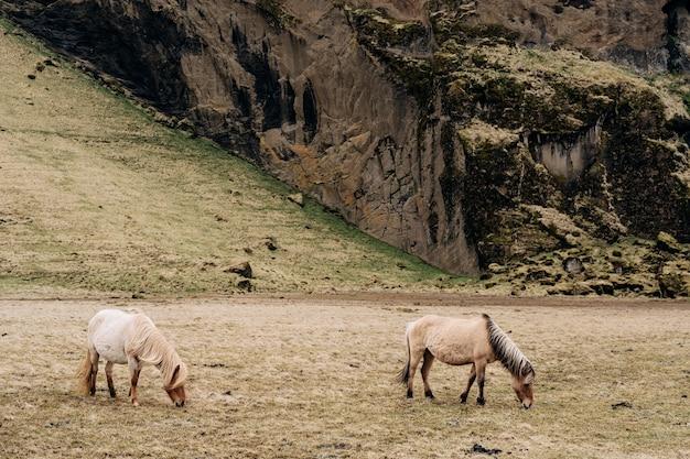 アイスランドの馬は、アイスランドで育った馬の品種で、2頭のクリーム色の馬が畑で放牧します。
