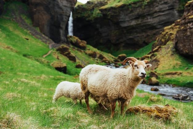 Исландская овца. фантастический вид на водопад в национальном парке