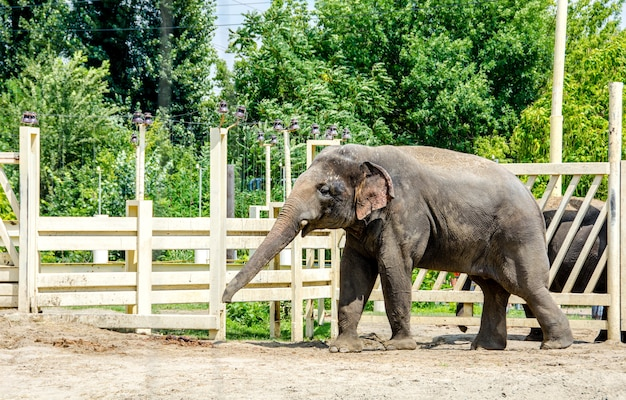 インドゾウelephasmaximus indicusは、動物園の展示エリアに一人で立っています。