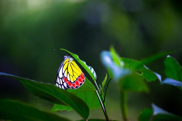 봄철에 꽃 식물에 쉬고 있는 인도 이세벨 나비