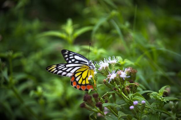 春の季節に花の植物で休むインドのイザベル蝶
