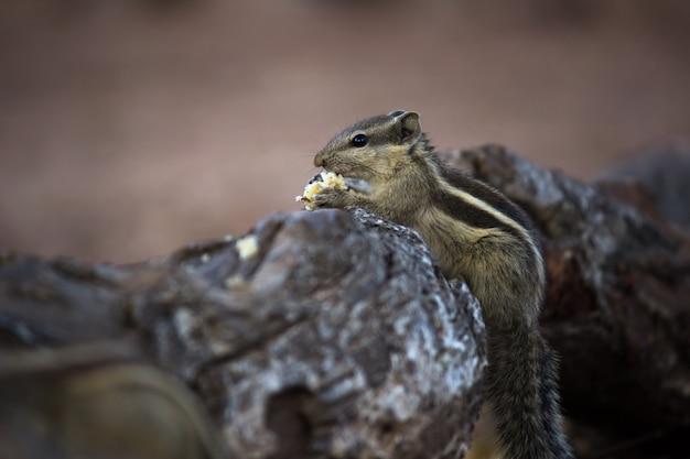 シマリスとしても知られているインドのパームリスは、カメラに向かって横向きにポーズをとってナッツを食べています