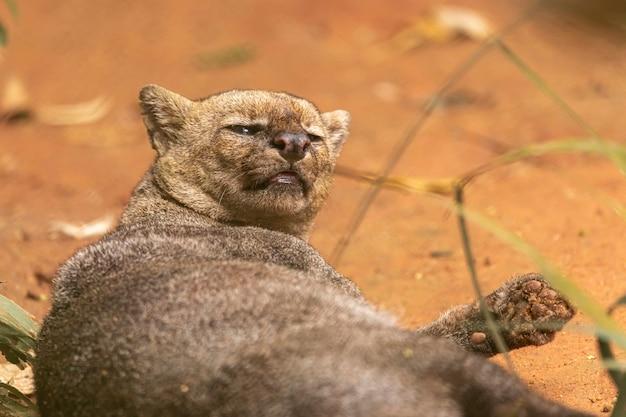재규 아룬 디 (herpailurus yagouaroundi)는 아메리카 원주민의 야생 고양이입니다.