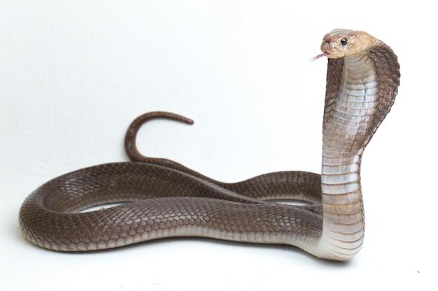 ジャワの唾を吐くコブラ(naja sputatrix)は、白で隔離された南インドネシアのコブラとも呼ばれます