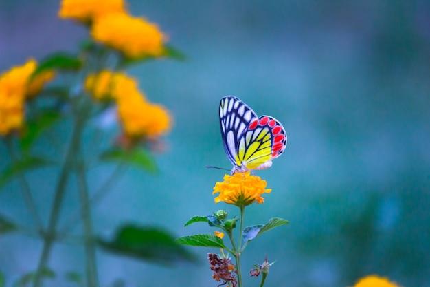 봄철에 꽃 식물에 쉬고 있는 이세벨 나비