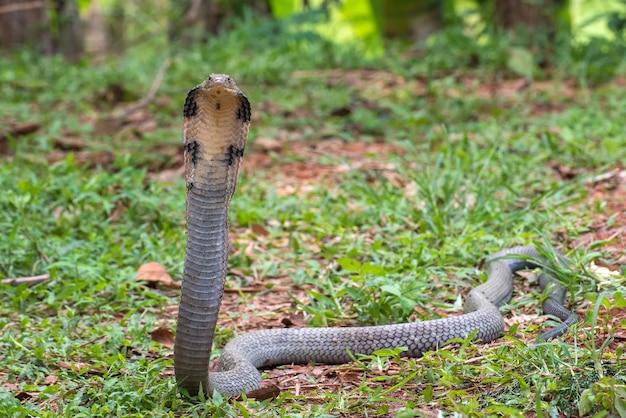 キングコブラ(ophiophagus hannah)