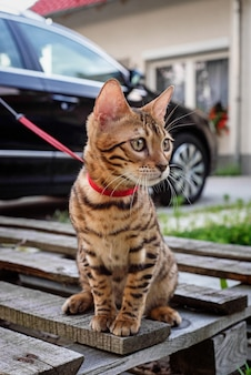 子猫は家の前のひもにつないで座っています。散歩のための猫