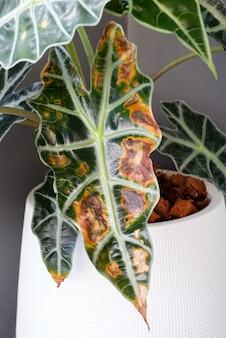クリス植物(alocasia sanderiana bull)は、やわらかい腐敗による病気で、葉は乾燥してひびが入っており、コピースペースのフォントビューです。