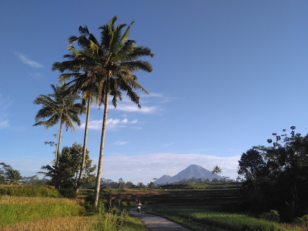 인도네시아 마을의 논과 야자수와 산의 풍경