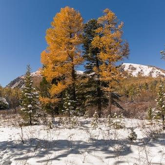秋、シベリア、アルタイ山脈共和国、ロシアのアルタイ山脈のシベリアの森タイガの風景。