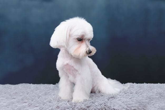 ラップドッグはカーペットの上に座っており、品種に応じて散髪を示しています