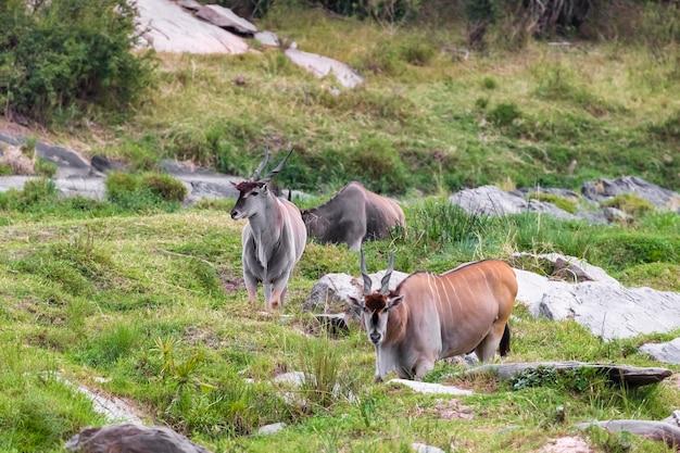 Самая большая антилопа восточноафриканской канны в кении африка